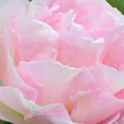 Sweet Pink Tulip Art Print