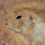 Sweet Profile Of A Prairie Dog Playing In Dirt Art Print