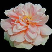 Sweetheart Rose Art Print