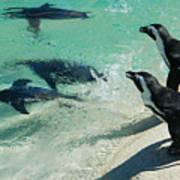 Swim Race - African Penquins Art Print