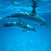Swimming Dolphins Art Print