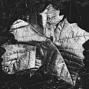Sycamore Leaf Digital Art Print