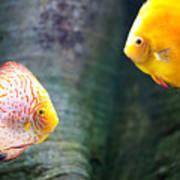 Symphysodon Discus Fishes Art Print