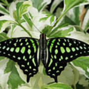 Tailed Jay Butterfly #2 Art Print