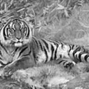 Takin It Easy Tiger Black And White Art Print