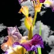 Tall Bearded Iris Art Print