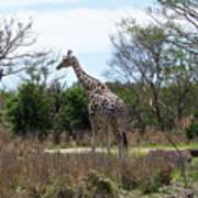 Tall Giraffe Art Print