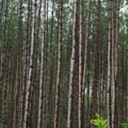 Tall Pines After The Rain Art Print