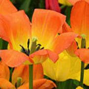 Tantalizing Tulips Art Print
