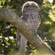 Tawny Frogmouth Art Print by Barry Culling