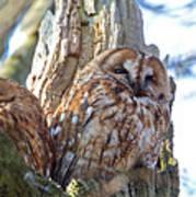 Tawny Owls Art Print