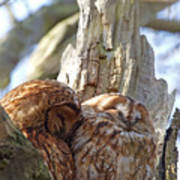 Tawny Owls In Love Art Print