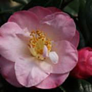 Taylor's Perfection Camellia Art Print
