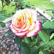Tea Rose For A Lady Art Print