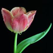 Teardrop Tulip Art Print by Tracy Hall
