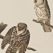 Tengmalm's Owl Art Print