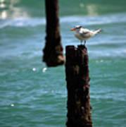 Tern Gulfstream Florida Art Print