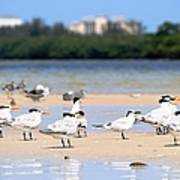 Terns At Fort Myers Art Print