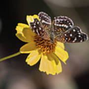 Texan Crescent Butterfly On Marigold-img_1348-2016 Art Print