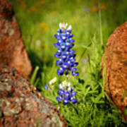 Texas Bluebonnet Art Print by Jon Holiday