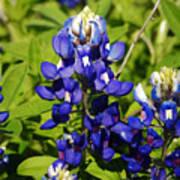 Texas Bluebonnets 005 Art Print