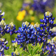 Texas Bluebonnets 006 Art Print