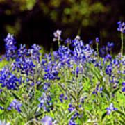Texas Bluebonnets IIi Art Print