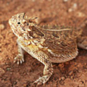 Texas Horned Lizard Art Print