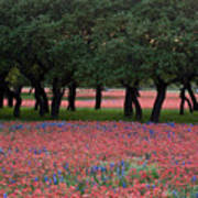 Texas Live Oaks Surrounded By A Field Of Indian Paintbrush And Bluebonnets Art Print