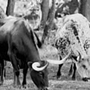 Texas Longhorn Steer In Black And White Art Print