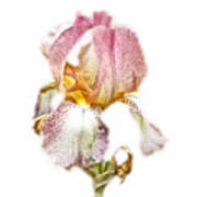 Thank You Greeting Items - Bearded Iris Art Print
