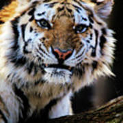 That Tiger Look Art Print
