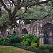 The Alamo Oak Art Print