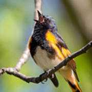 The American Redstart Art Print