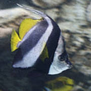 The Bannerfish Art Print