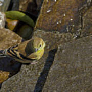 The Bath - American Goldfinch - Spinus Tristis Art Print