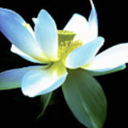 The Beauty Of A Lotus Art Print