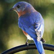 The Bluebird Art Print