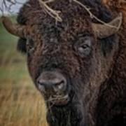 The Buffalo 2 Art Print