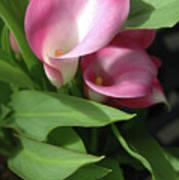 The Calla Lily Art Print