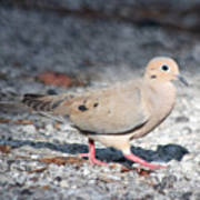 The Chipper Mourning Dove Art Print