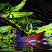 The Common Gallinule Art Print