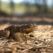 The Common Toad 4 Art Print