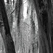 Cypress In The Bayou Art Print