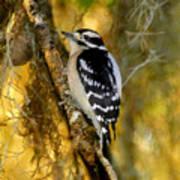 The Downy Woodpecker Art Print