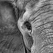 The Elephant In Black And White Art Print