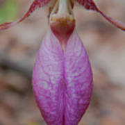 The Ever So Rare Ladyslipper Art Print