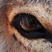 The Eye Of A Burro Art Print