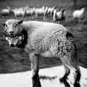The Flock Is Safe Grayscale Art Print
