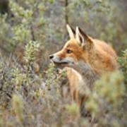 The Fox And Its Prey Art Print